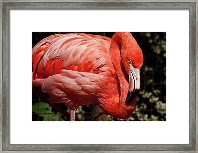 Pink Flamingo Framed Print by Jill Smith