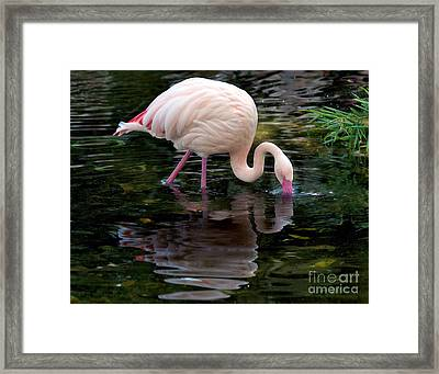 Framed Print featuring the photograph Pink Flamingo by Ken Frischkorn