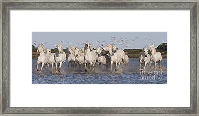Pink Flamingoes And White Horses Framed Print