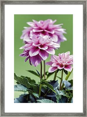 Vintage Pink Dahlias - Vertical  Framed Print