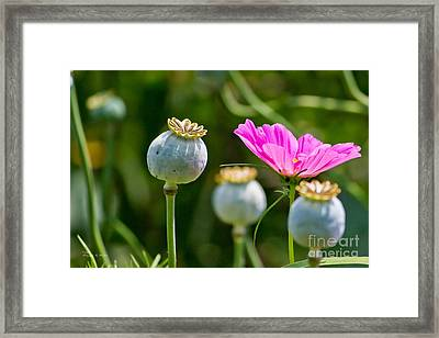 Pink Poppy And Buds Framed Print