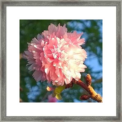 Pink Flower Bloom In Sunset. #flowers Framed Print