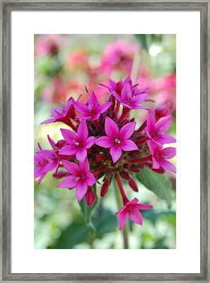 Pink Flower Burst Framed Print by Jean Booth