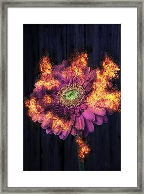 Pink Flower In Flames Framed Print by Garry Gay
