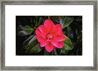 Pink Flower Framed Print by Martin Newman