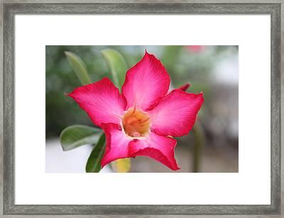 Pink Flower Framed Print by Sabina Thomas