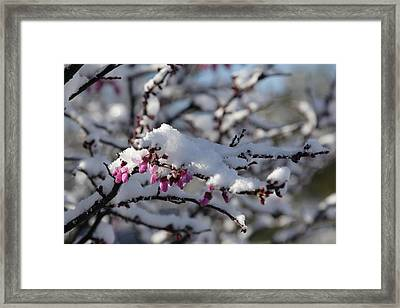 Pink Flower With Snow Framed Print