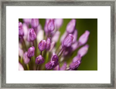 Pink Flowers Framed Print by Jouko Mikkola
