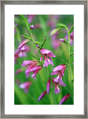 Pink Flowers Of Gladiolus Communis Framed Print by Frank Tschakert