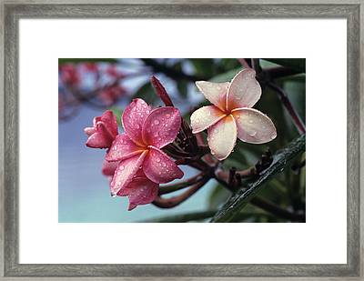 Pink Frangipani Flower And Raindrops Framed Print