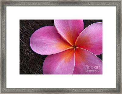 Pink Frangipani Framed Print