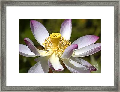 Pink-fringed Lotus Framed Print by Amber Lea Starfire