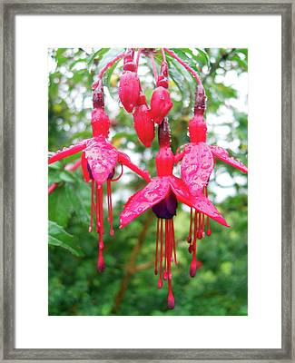 Pink Fuchsia Framed Print by Robert Shard