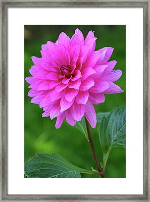 Framed Print featuring the photograph Pink Garden Flower by Juergen Roth