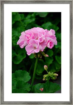 Framed Print featuring the photograph Pink Geranium by Marilynne Bull