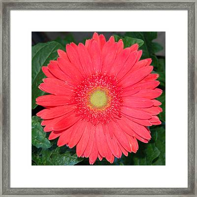 Pink Gerber Framed Print by Pearson Photography