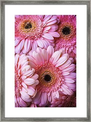 Pink Gerbera Daisy Bunch Framed Print
