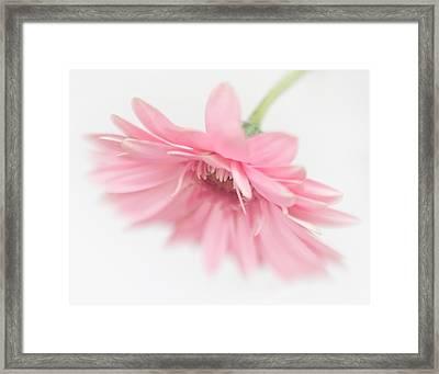 Pink Gerbera Daisy II Framed Print by David and Carol Kelly
