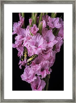 Pink Glads And Butterfly Framed Print by Garry Gay