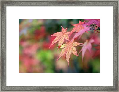 Pink Glow Maple Framed Print