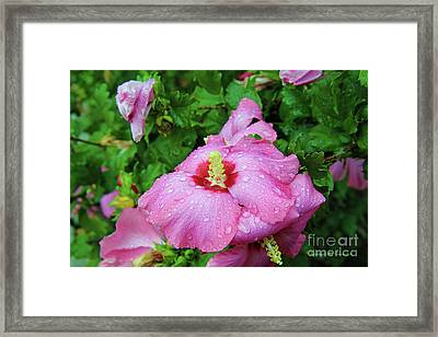 Pink Hibiscus After Rain Framed Print