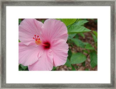 Pink Hibiscus Framed Print by Beverly Hammond