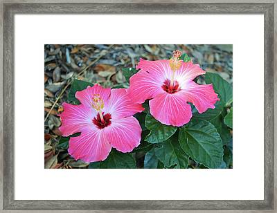 Pink Hibiscus Blooms Framed Print by Aimee L Maher Photography and Art Visit ALMGallerydotcom