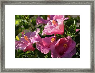 Pink Hibiscus Bush Framed Print by Zina Stromberg