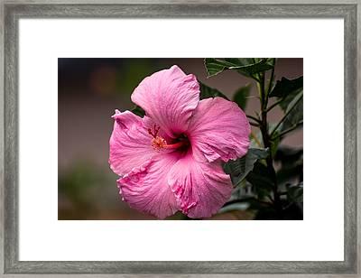 Pink Hibiscus Close  Framed Print