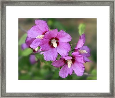 Pink Hibiscus Cluster Framed Print by Linda Phelps