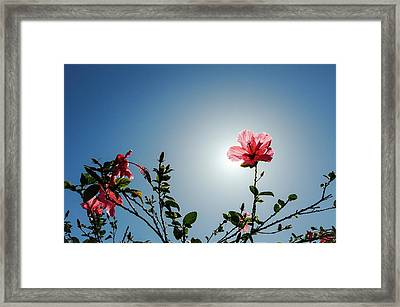 Pink Hibiscus Flowers Framed Print
