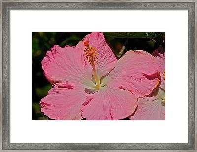 pink hibiscus I Framed Print by Eddie Freeman