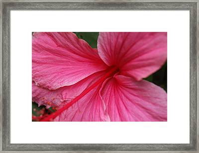 Pink Hibiscus Framed Print by Kathy Schumann