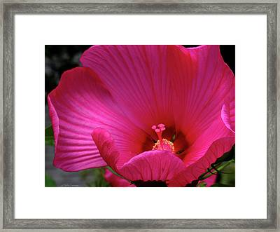 Pink Hibiscus Framed Print by Mikki Cucuzzo