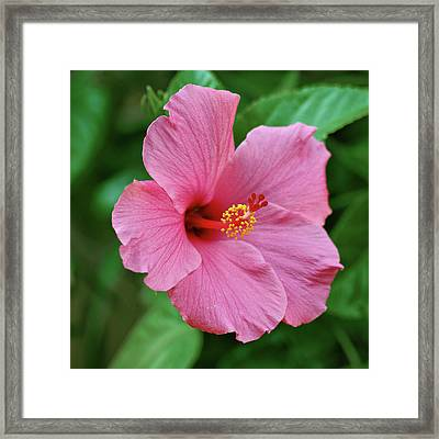 Pink Hibiscus Framed Print by Sandy Keeton