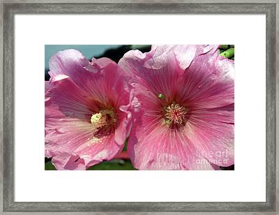 Pink Hollyhock  Framed Print