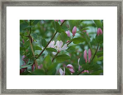 Pink Honeysuckle Framed Print by Susan Pedrini