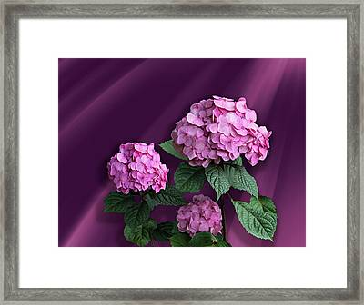 Pink Hydrangea Framed Print by Judy Johnson