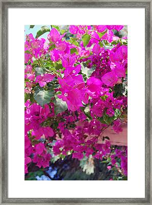 Pink In Rohodes Framed Print by Armand Hebert