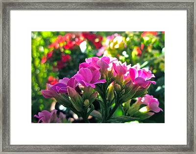 Pink In The Winter Framed Print by Gwyn Newcombe