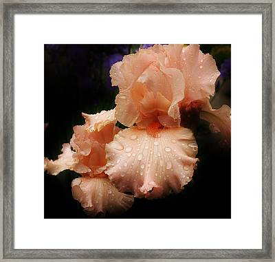 Pink Iris 1 Framed Print by Bruce Bley