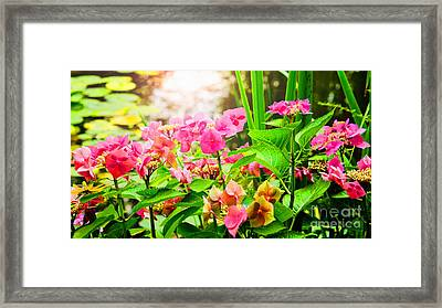 Pink Lace Cap Hydrangeas Framed Print by MaryJane Armstrong
