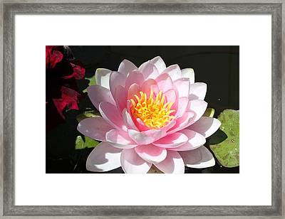 Framed Print featuring the photograph Pink Lady by M Diane Bonaparte