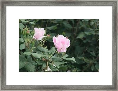 Pink Lady Framed Print by ShadowWalker RavenEyes Dibler