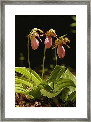 Pink Lady Slipper Framed Print