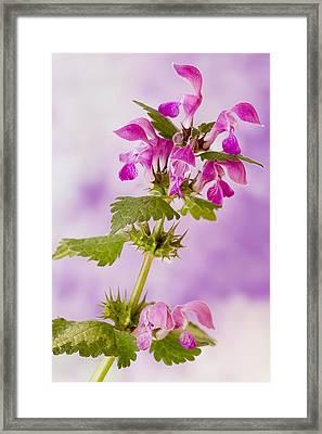 Pink Lamium Macro  Framed Print by Sandra Foster
