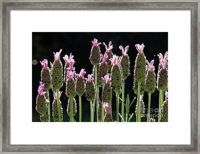 Pink Lavender Framed Print