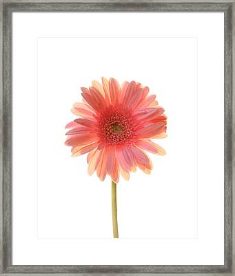 Pink Lemonade Framed Print