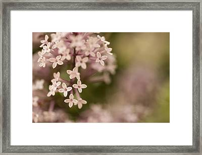 Pink Lilacs Framed Print by Liz Howerton