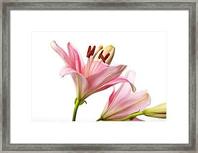 Pink Lilies 03 Framed Print